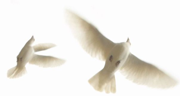 Peace Doves