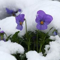 flowers_snow